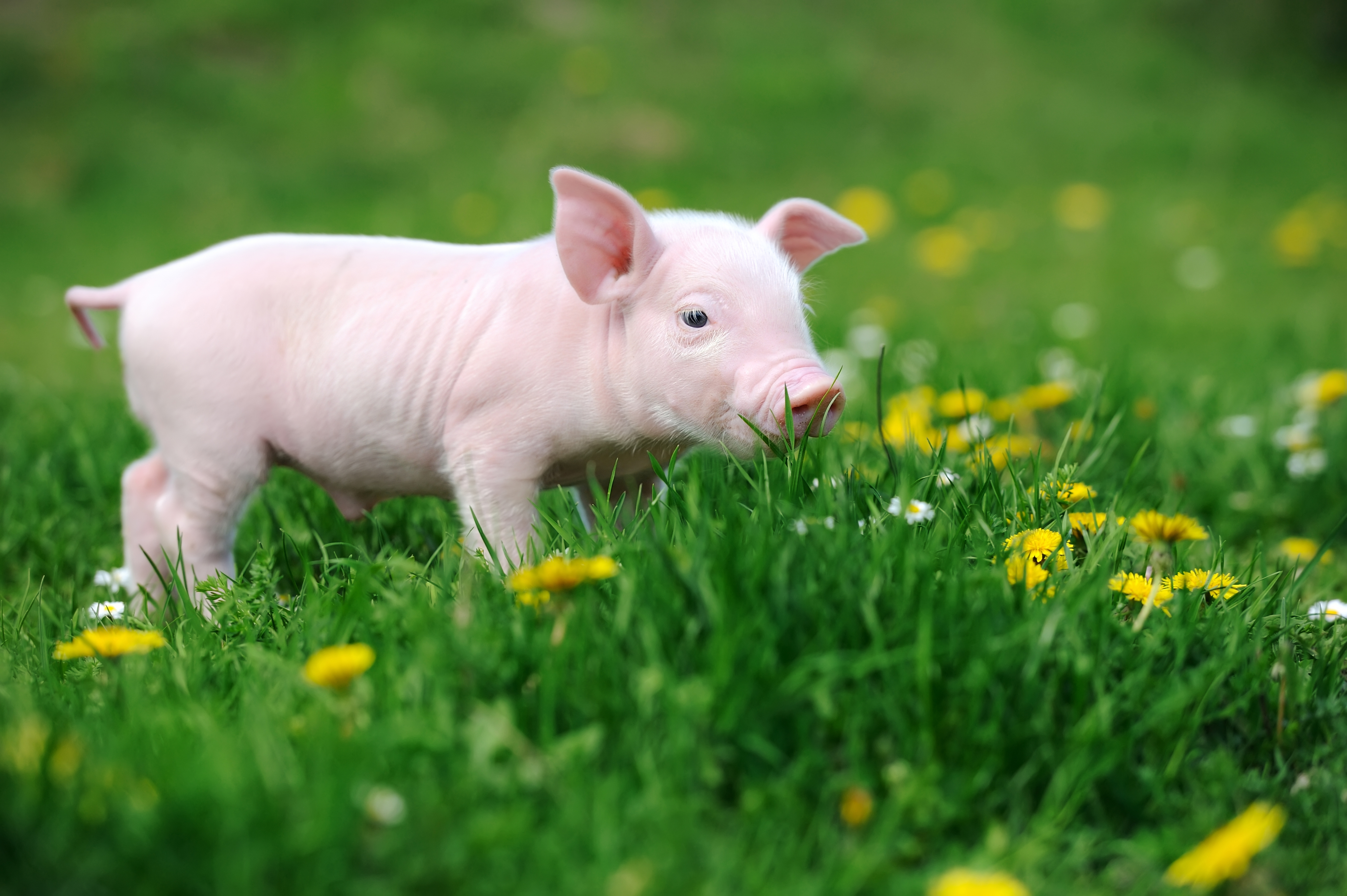 Improve Gut Health in Piglets