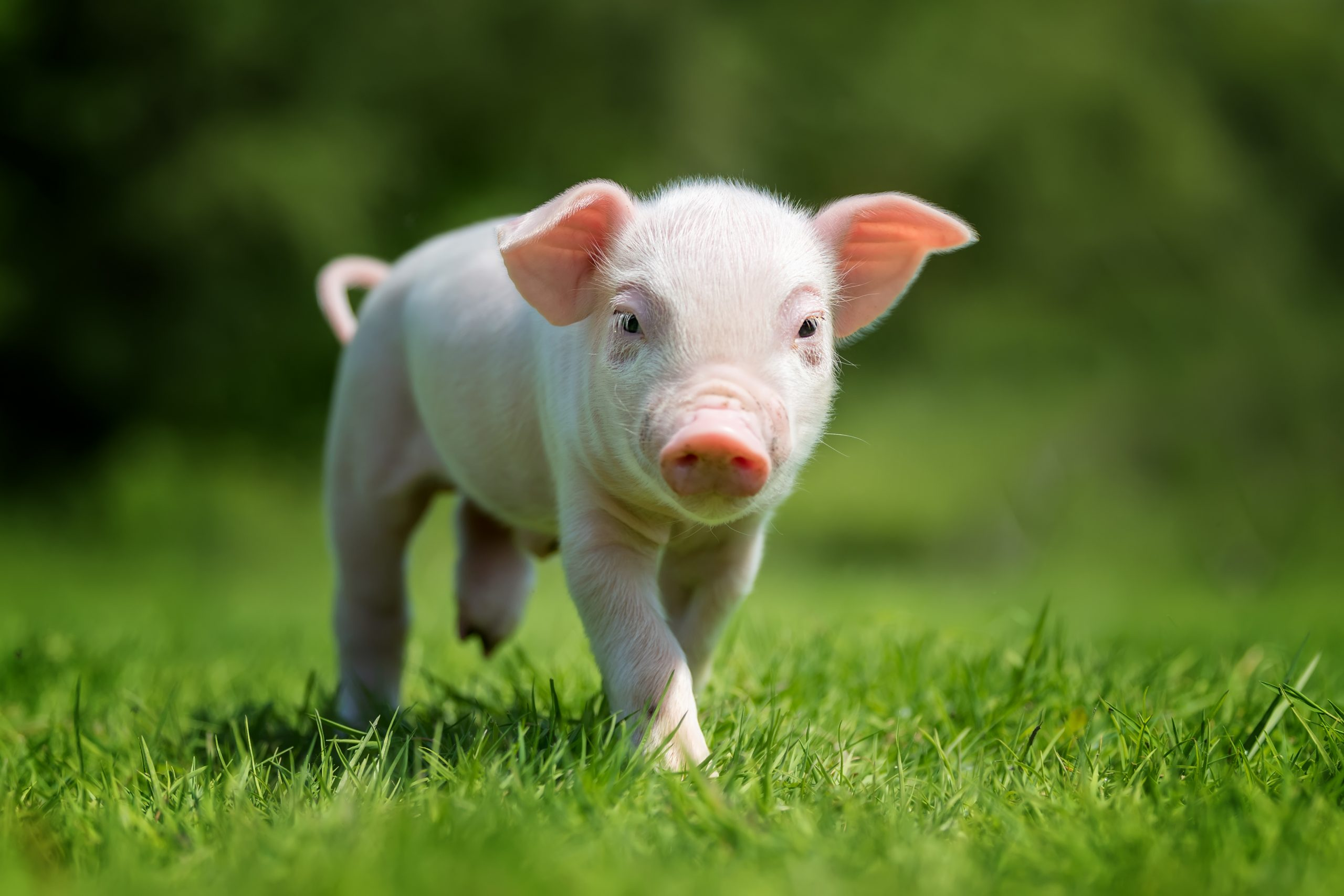 Improving Piglet's Intestinal Eco-System